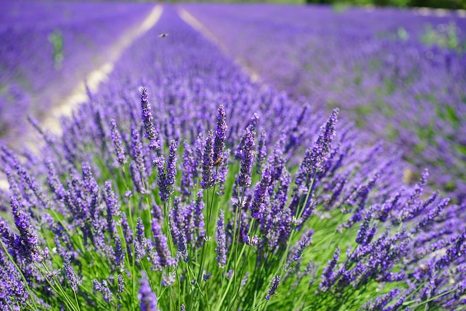 lavender-cultivation