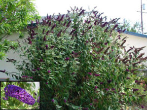 buddleia.davidii.black-knight