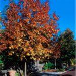 Shumarddi Oak