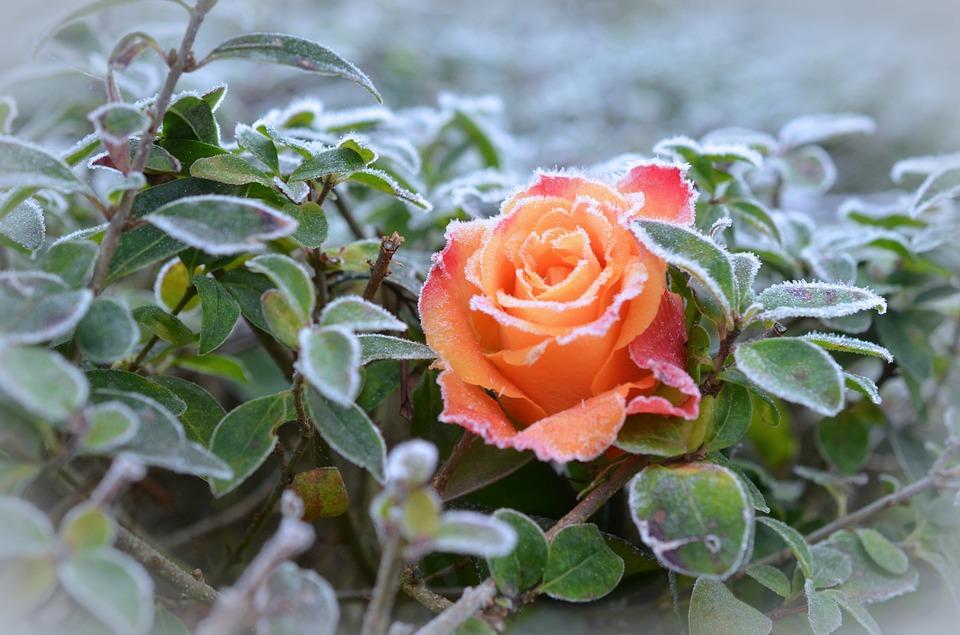 rosewinter