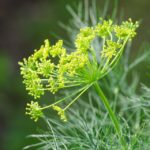 dill-4741813_960_720