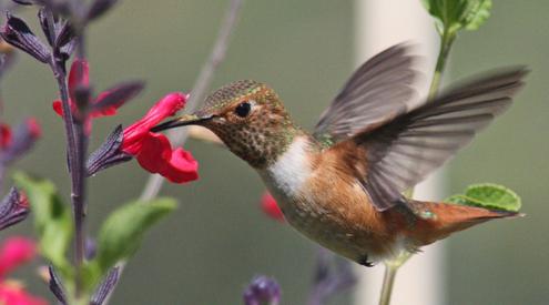 Hummingbird_JohnHobbs_495x275